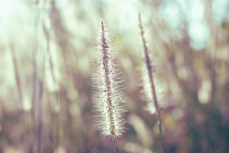 Dzika trawa kwitnie w polu przy zmierzchem fotografia royalty free