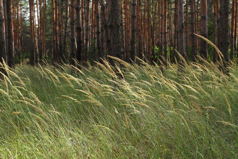 Dzika trawa w sosnowym lesie Wiele wysokie, nikłe sosny w th, obrazy stock