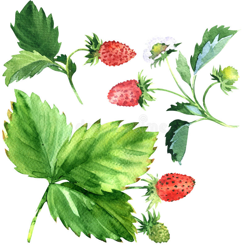 Dzika truskawka z zieleń liśćmi i czerwoną owoc, akwareli ilustracja royalty ilustracja