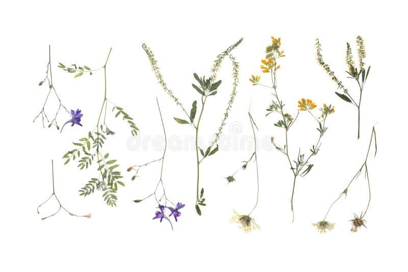 Dzika wysuszona łąka kwitnie na białym tle zdjęcia royalty free