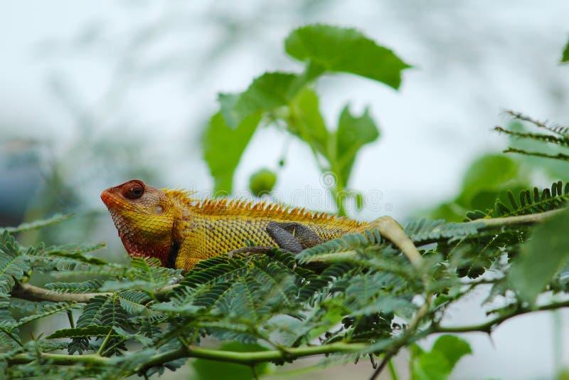 Dzika Złota Żółta jaszczurka obrazy stock