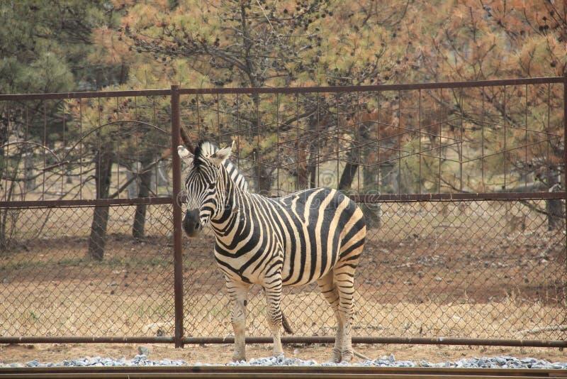 dzika zebra fotografia stock