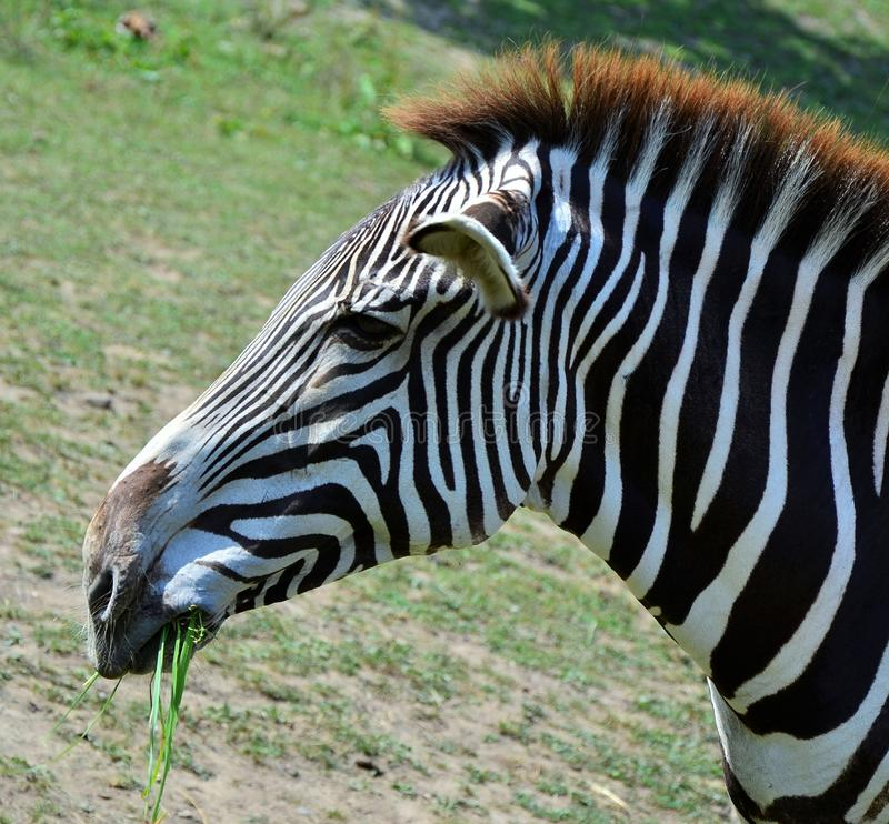 dzika zebra obraz royalty free