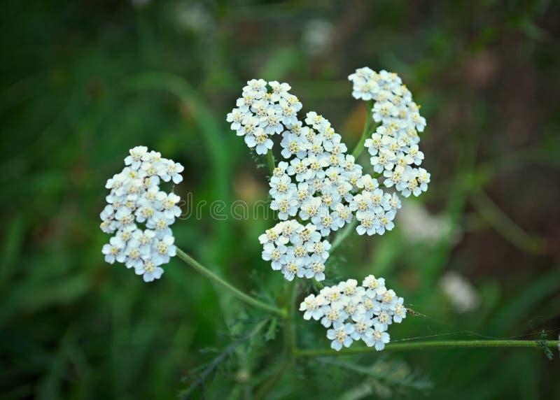Dziki łąkowy rośliny kwitnienie z białymi kwiatami obrazy stock