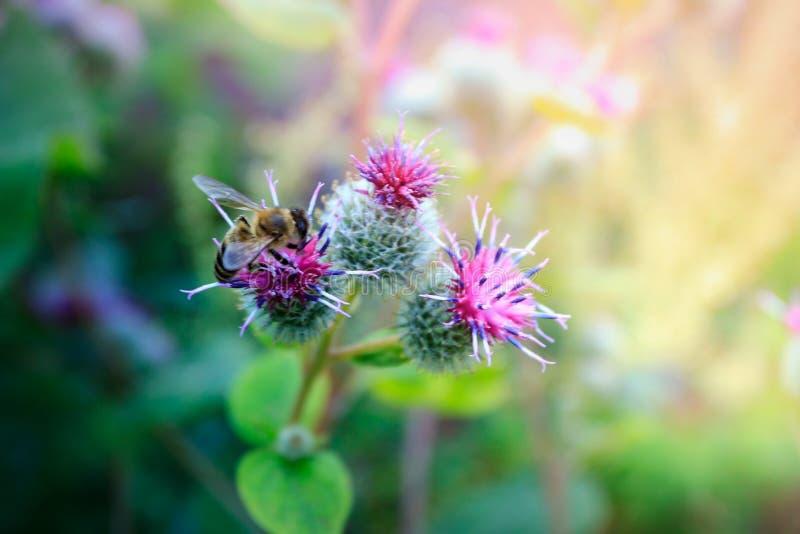 Dziki Łopianowy Arctium lappa kwiat w kwiacie obrazy stock