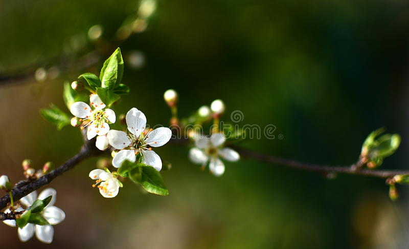 Dziki śliwkowy drzewo w pełnym kwiacie zdjęcia royalty free