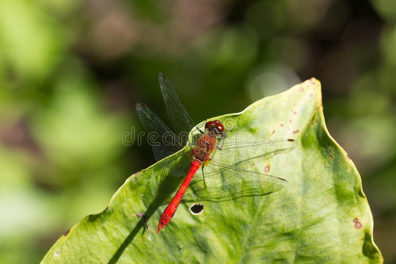 Dziki żółty czarny czerwony dragonfly anax imperator Sympetrum Fonscol obraz stock