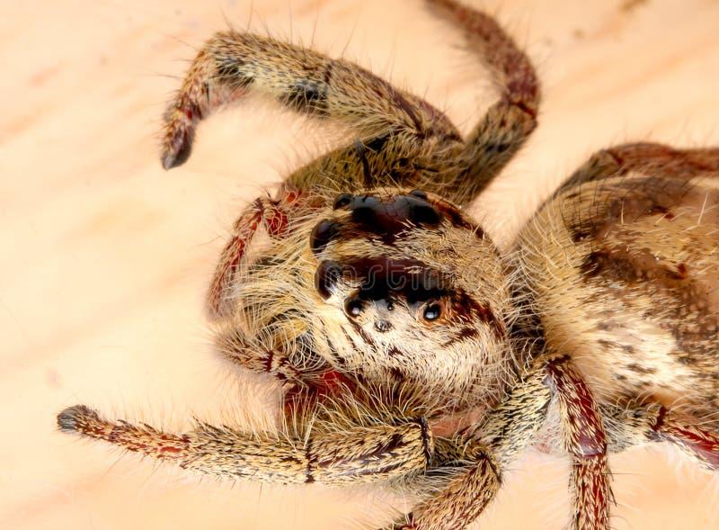 Dziki żeński skokowy pająk z, pobyt na brązu suchym liściu i fotografia stock