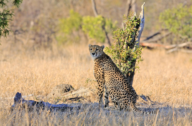 dziki afrykański gepard fotografia stock