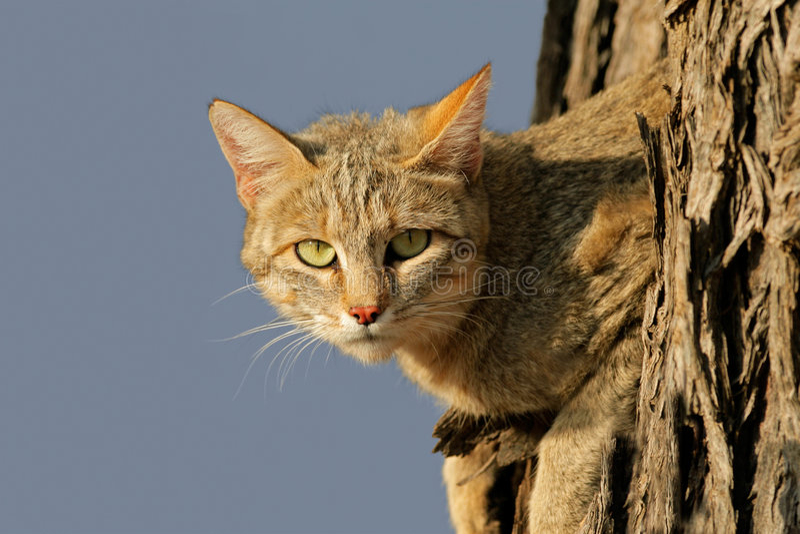 dziki afrykański kot fotografia stock