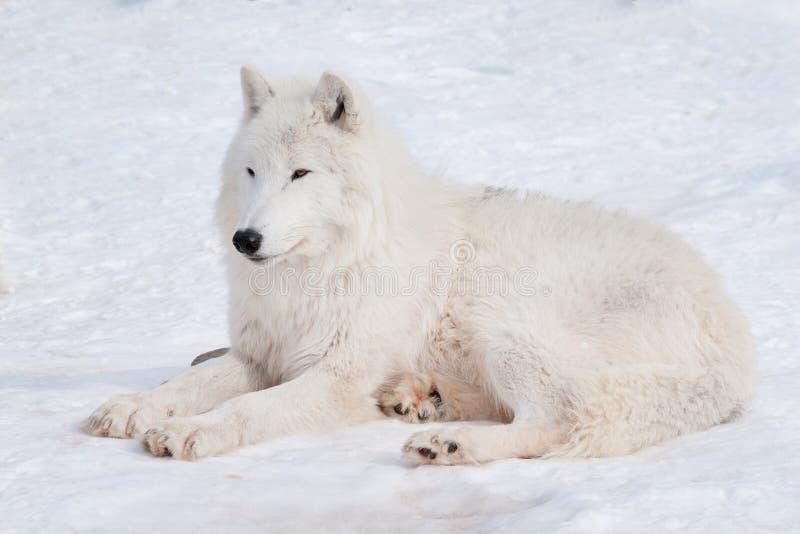 Dziki alaski tundrowy wilk kłama na białym śniegu Zwierzęta w przyrodzie Canis lupus arctos fotografia stock