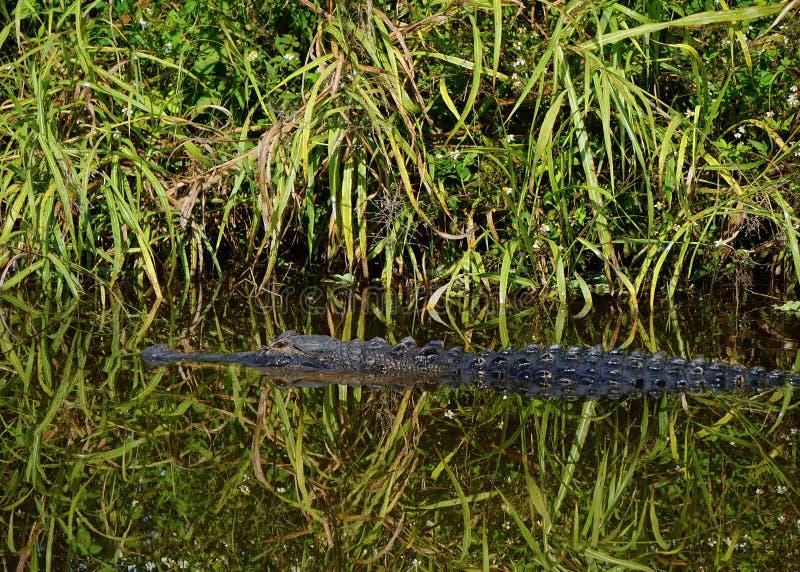 Dziki aligator w Floryda bagnie zdjęcia royalty free