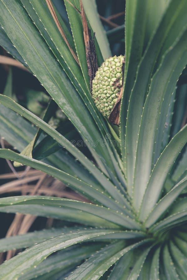 Dziki ananas na drzewie - żniwo zdjęcia royalty free