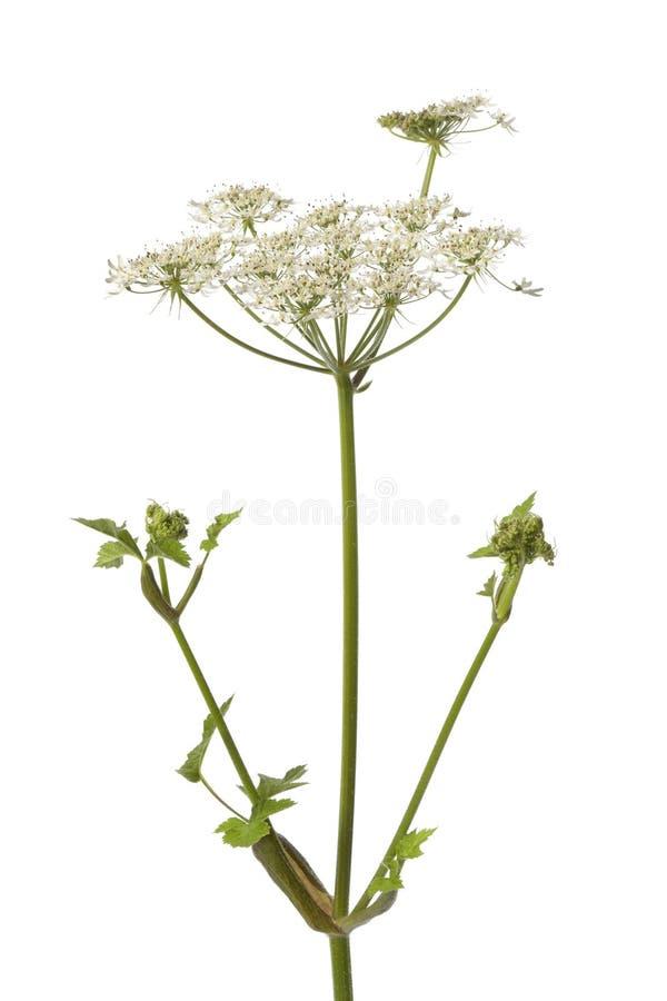 dziki arcydzięgielowy kwiat zdjęcie royalty free