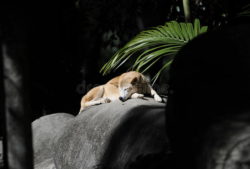 Dziki australijski dingo sunbaking, fraser wyspa, Queensland, aust obraz stock