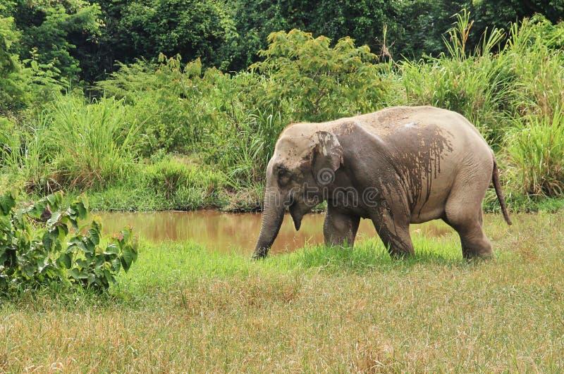 Dziki Azjatycki słoń ucieka w las fotografia stock