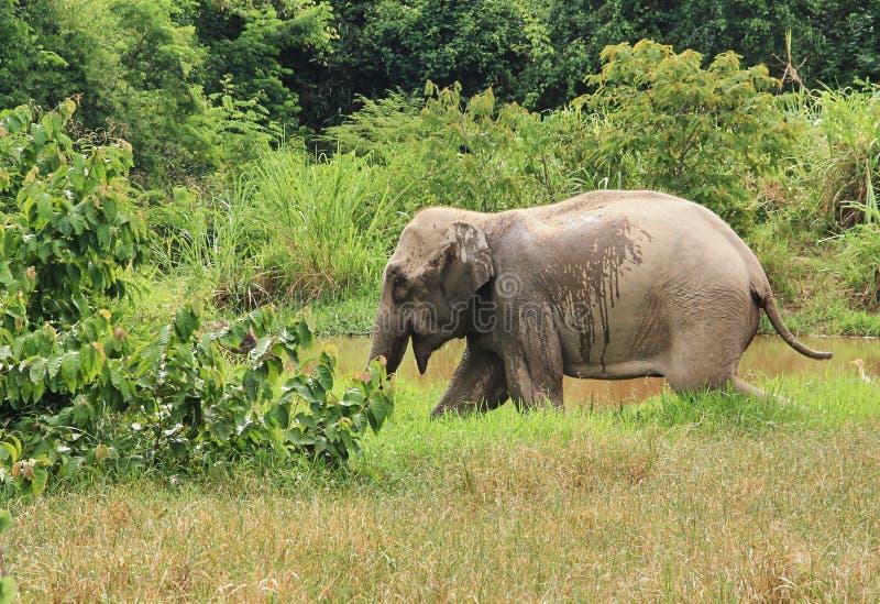 Dziki Azjatycki słoń ucieka w las fotografia royalty free