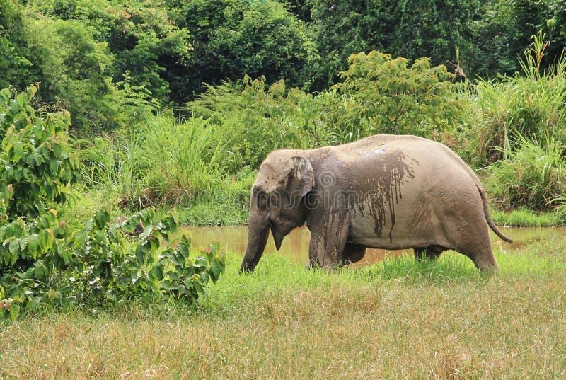 Dziki Azjatycki słoń ucieka w las zdjęcia royalty free