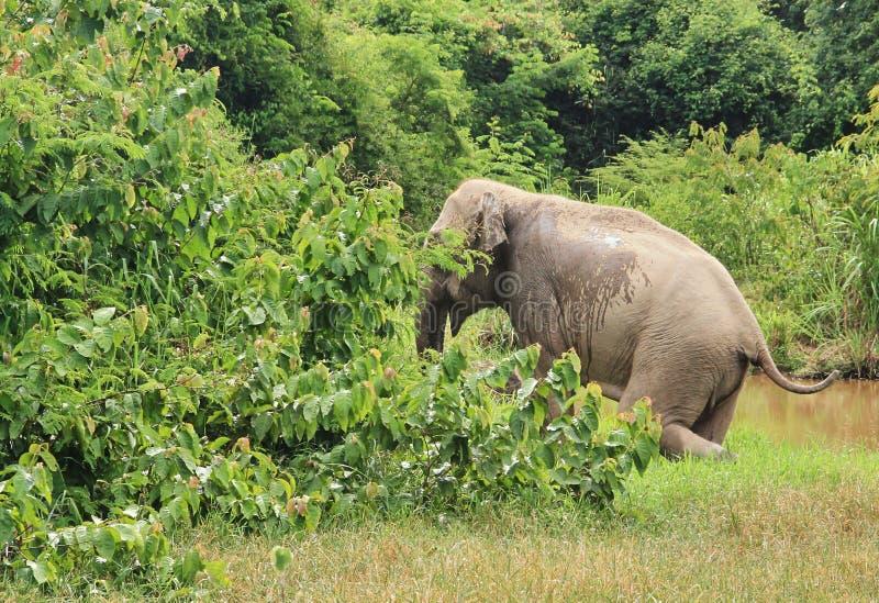 Dziki Azjatycki słoń ucieka w las obrazy stock