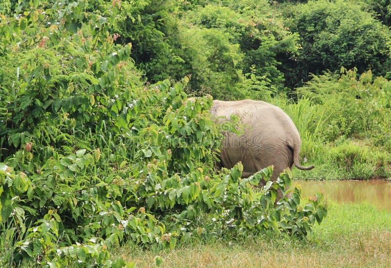 Dziki Azjatycki słoń ucieka w las zdjęcia stock