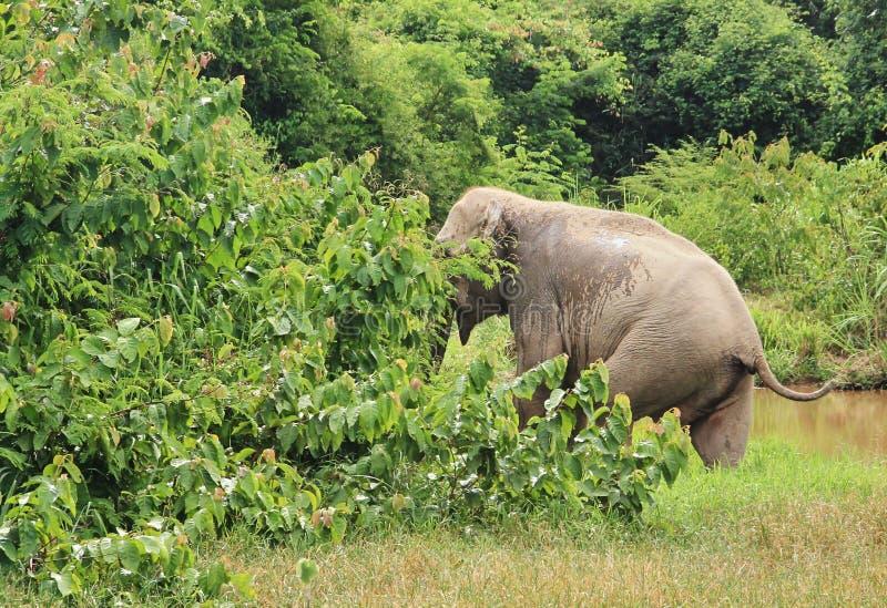 Dziki Azjatycki słoń ucieka w las zdjęcie royalty free