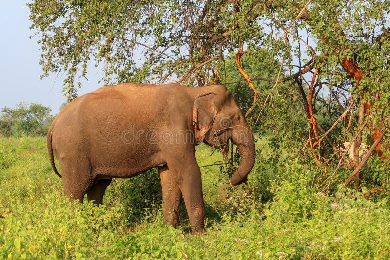 Dziki Azjatycki słoń w Sri Lanka, Udawalawe parka narodowego safari obrazy royalty free