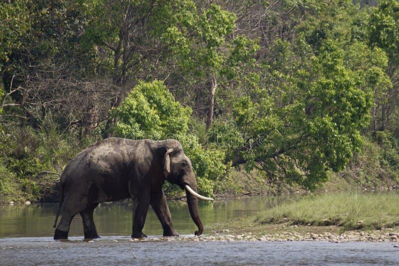 Dziki azjatykci słoń krzyżuje rzekę przy Bardia parkiem narodowym, Nepal obraz stock