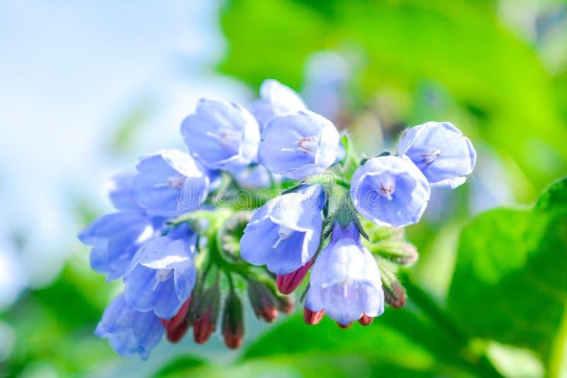 Dziki błękit, purle, menchia kwitnie jak dzwon i pączkuje na lato łące dzikie kwiaty zdjęcie royalty free