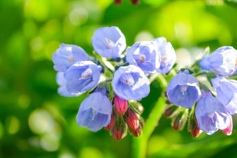 Dziki błękit, purle, menchia kwitnie jak dzwon i pączkuje na lato łące dzikie kwiaty fotografia royalty free