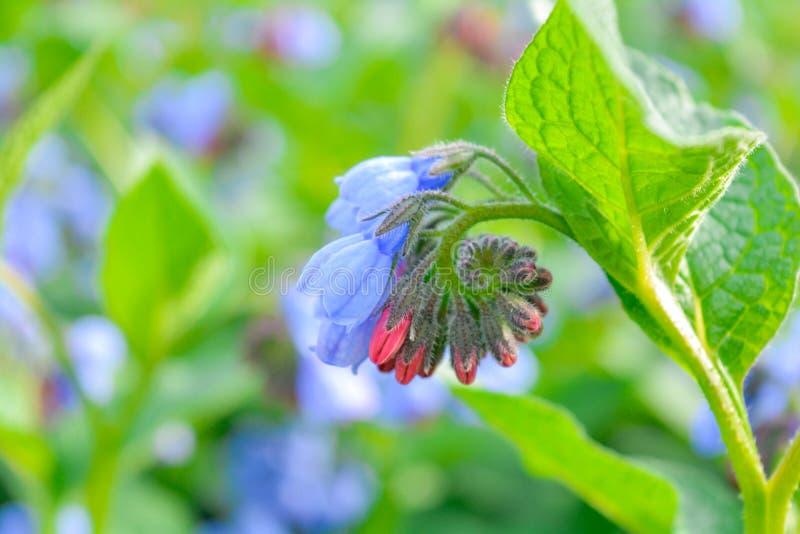 Dziki błękit, purle, menchia kwitnie jak dzwon i pączkuje na lato łące dzikie kwiaty obrazy royalty free