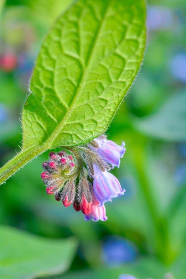 Dziki błękit, purle, menchia kwitnie jak dzwon i pączkuje na lato łące dzikie kwiaty obrazy stock