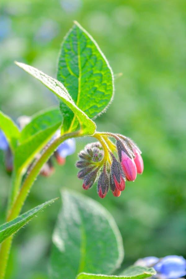Dziki błękit, purle, menchia kwitnie jak dzwon i pączkuje na lato łące dzikie kwiaty obraz royalty free