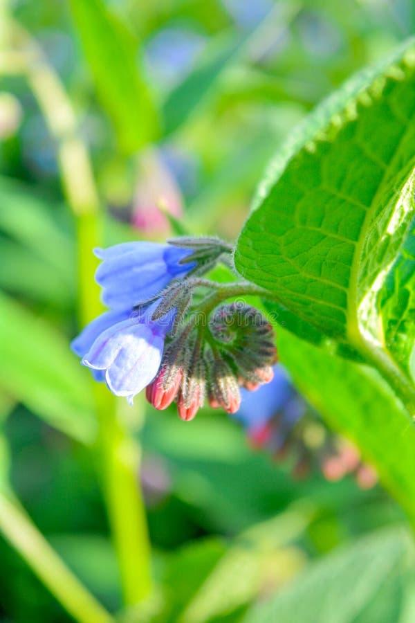 Dziki błękit, purle, menchia kwitnie jak dzwon i pączkuje na lato łące dzikie kwiaty zdjęcia stock