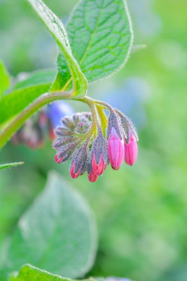 Dziki błękit, purle, menchia kwitnie jak dzwon i pączkuje na lato łące dzikie kwiaty zdjęcia royalty free