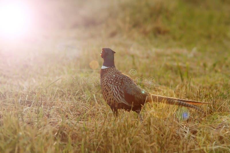 Dziki bażant w zmierzchu świetle zdjęcie royalty free