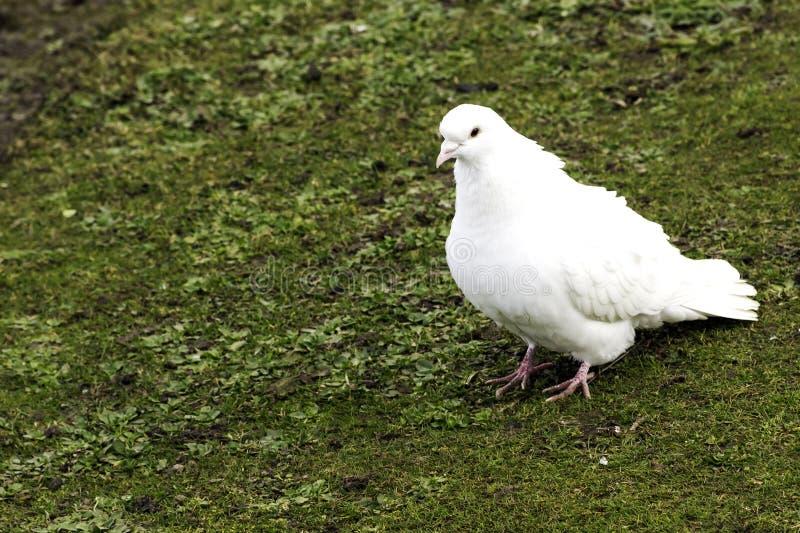 Dziki biały gołąb na trawie zdjęcia royalty free