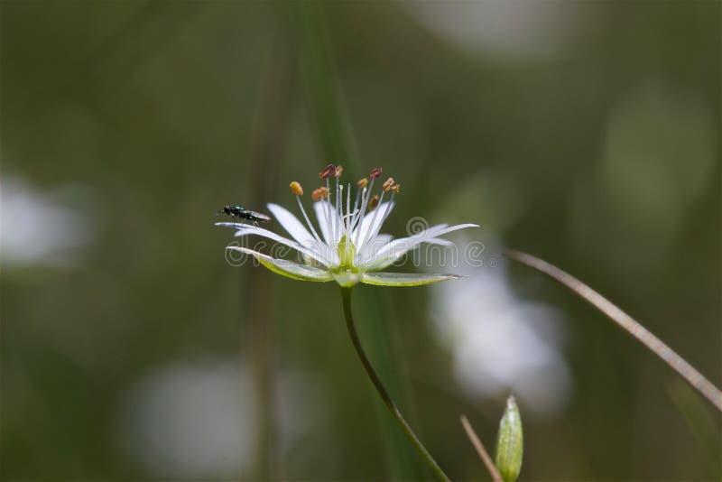 Dziki biały kwiat i insekt zdjęcie royalty free
