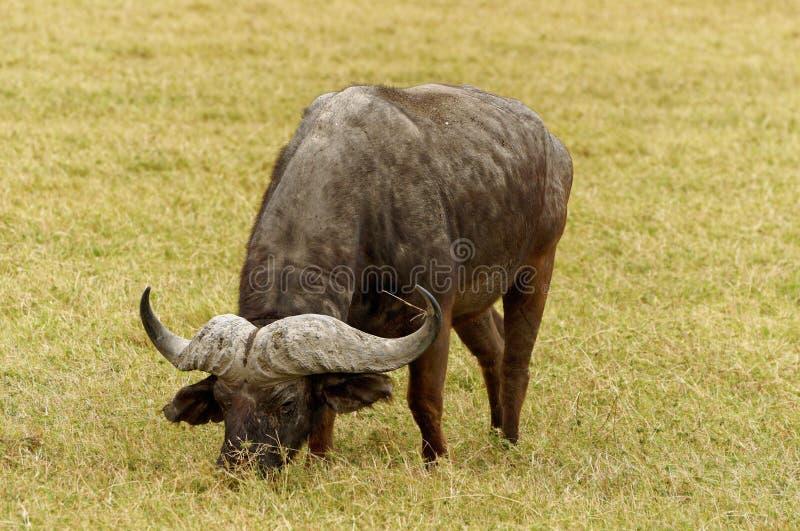 Dziki bizonów pasać obrazy stock