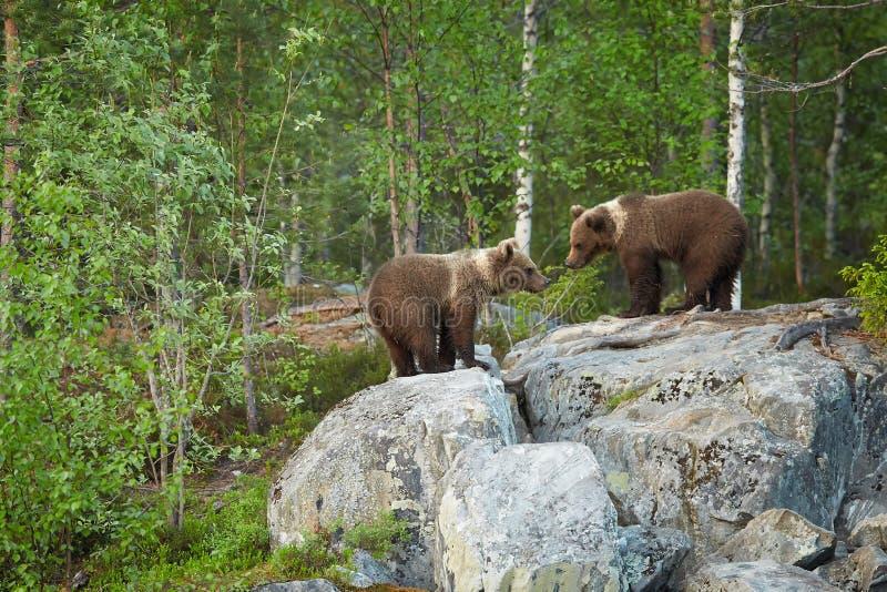 Dziki Brown niedźwiedź, Ursus arctos, dwa lisiątka, bawić się na skale, czeka matka niedźwiedzia fotografia stock