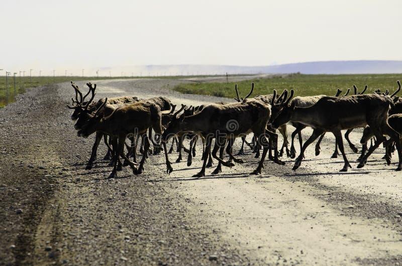 Dziki Caribou stado krzyżuje drogę obraz royalty free