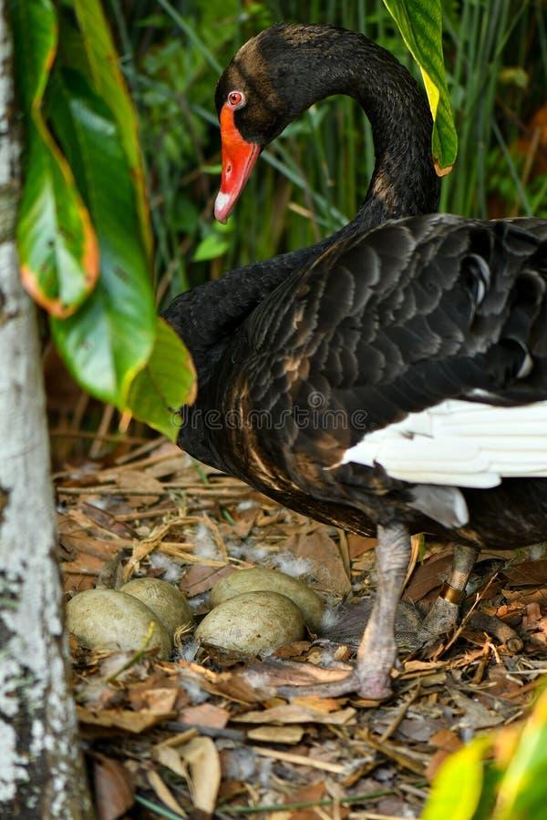 Dziki czarnego łabędź gniazdeczko z jajkami obrazy stock