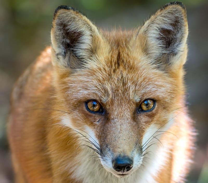Dziki Czerwonego Fox zakończenie w górę Twarzowego portreta zdjęcia royalty free
