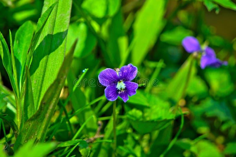 Dziki fiołkowy kwiat w wiośnie zdjęcia stock