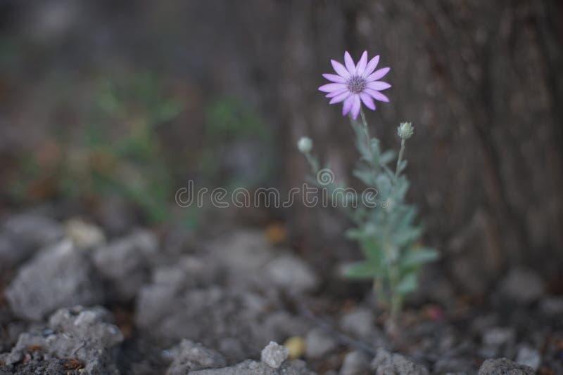 Dziki fioletowy kwiat rosnący w ogródku letnim obraz stock