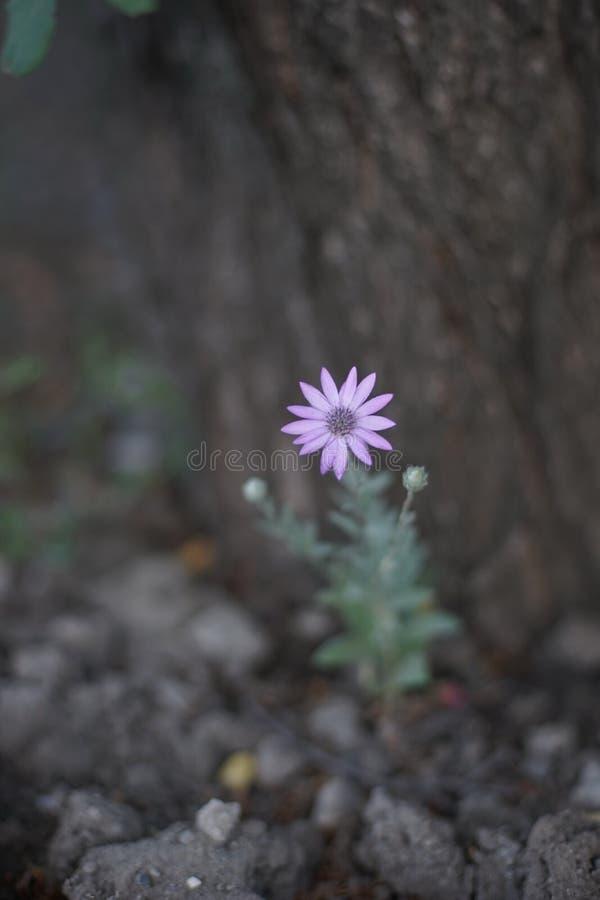 Dziki fioletowy kwiat rosnący w ogródku letnim fotografia royalty free