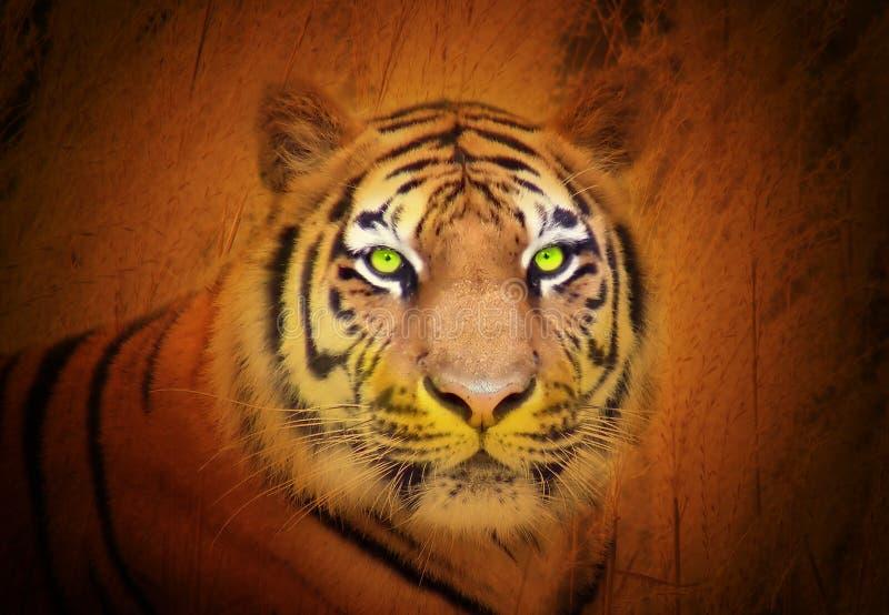 Download Dziki Gapienie Zwierzęcy Tygrys Zdjęcie Stock - Obraz: 14154372