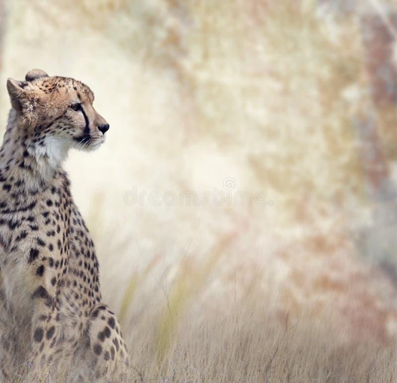 Dziki Gepard zdjęcie stock