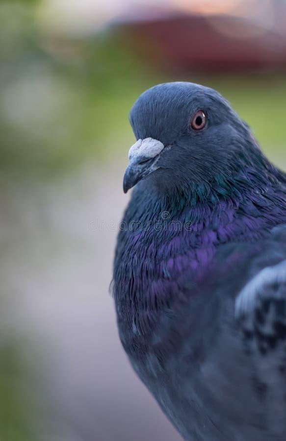 Dziki gołębi zbliżenie Emocji determinacja i zdjęcia royalty free