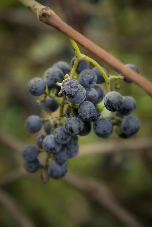 dziki gronowy winograd obraz royalty free