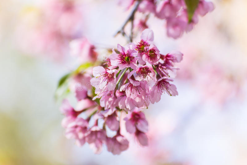 Dziki Himalajski Czereśniowy kwiat, Tajlandzki Sakura okwitnięcie fotografia stock